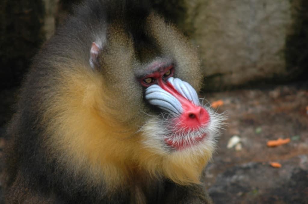 קוף מנדריל בגן החיות של ברצלונה